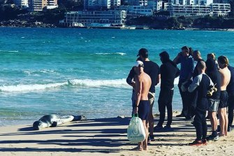 A crowd gathers to observe the rare appearance of a leopard seal at Bondi Beach.