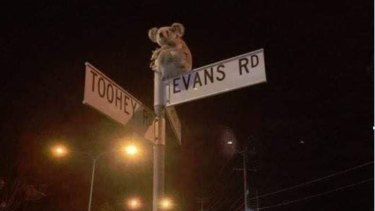 This photo of a koala on top of a Salisbury street sign has become a key image of a campaign for a new wildlife centre in south-east Queensland.