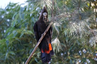 A rare glossy black cockatoo was spotted on the fringes of Melbourne for the first time in 150 years in 2020. It had been driven to different habitat after the bushfires.