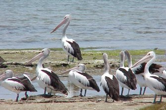 A flock of pelicans in the Coorong, near the end of the Murray River. Experts say it will be increasingly difficult to keep the lower lakes and the Coorong from drying up or becoming saline.