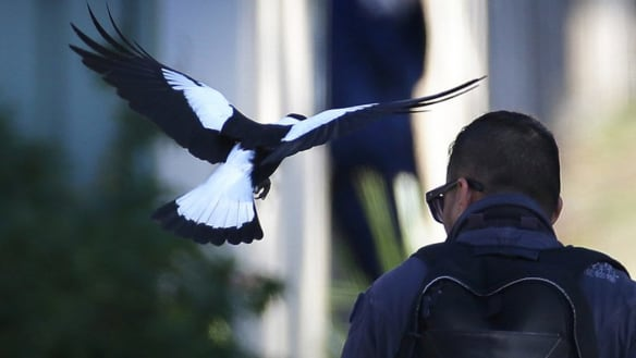 Arm yourselves, for magpie swooping season is here