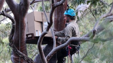 Boxed in: The owlet is carried up into the canopy to be released back into the wild.