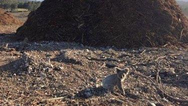 Koalas in cleared habitat near Coomera