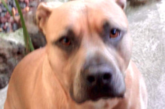 American Staffordshire terrier Junior killed his owner's father in Mill Park on Wednesday night.