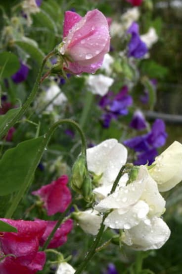 Before you plant sweet peas, do check they are a disease-resistant variety.