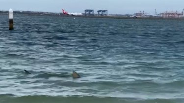 A shark was spotted swimming within the net of a Brighton Le Sands beach on Tuesday afternoon.