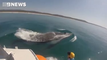 The humpback whale was dragging commercial fishing tackle when Sea World rescued it near North Stradbroke Island.