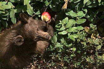 The neurologically impaired Pollock Pines black bear eats an apple in a residential backyard.