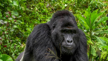 Rafiki, the silverback gorilla.