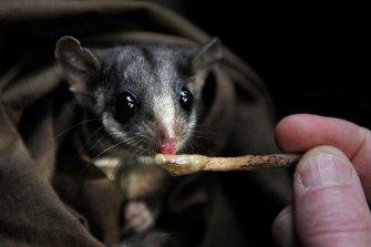 Leadbeater's possum.