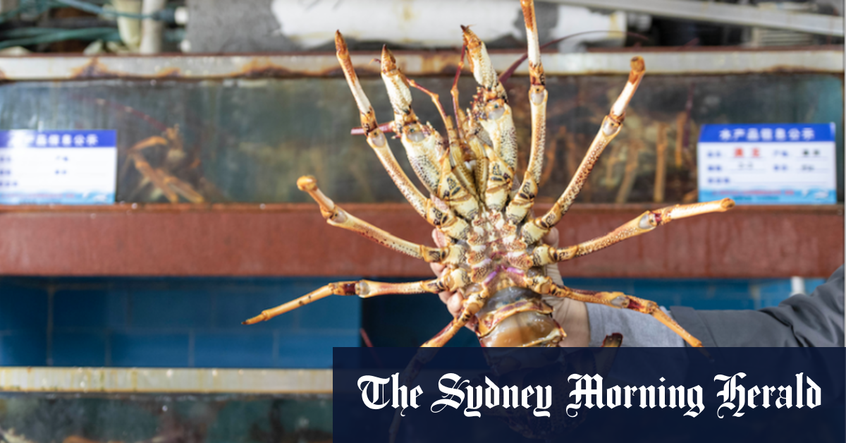 Race to save 20 tonnes of lobsters on Chinese tarmac as timber also hit – Sydney Morning Herald