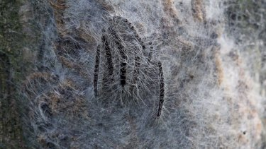 A nest of caterpillars of the oak processionary moth, in Hamburg, Germany, in 2014. Their bristles have a toxin that can cause skin irritations, allergies and asthma attacks in humans.