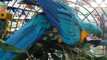 Conchita the stolen macaw can say her own name, 'scratchy scratch', 'yum yum' and laughs.