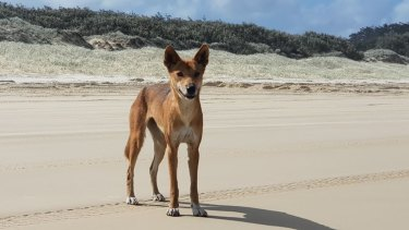 Dingoes in Eurong on Fraser Island have no fear of people like others in Queensland because they are raised among them.