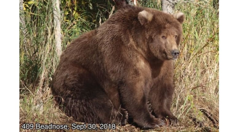 409 Beadnose has been crowned America's Fattest Bear of 2018.