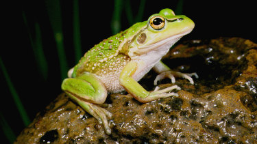 The Growling Grass Frog  classified as endangered in Victoria.