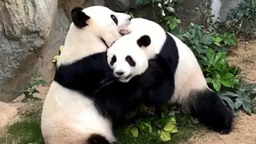 Giant pandas Ying Ying and Le Le at Ocean Park in Hong Kong  on Monday.