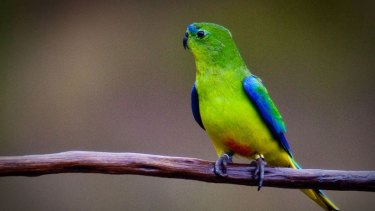 The federal government's own experts say Australia is failing in efforts to save threatened species, such as the orange-bellied parrot, pictured.