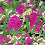 Coleus, the indoor plant most at risk of dying.