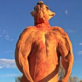 Viral sensation Roger, the ripped kangaroo, dies