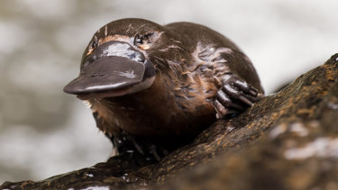 Melbourne's platypuses are being exposed to high levels of anti-depressants.