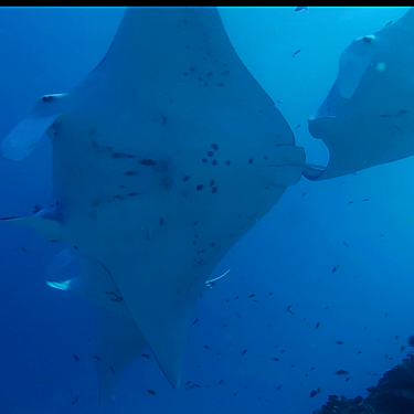 UQ researchers have found manta rays home ranges extend for more than 1000 kilometres, more than double what was previously thought.