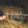 Marijuana smoker was not hallucinating: she did see a tiger