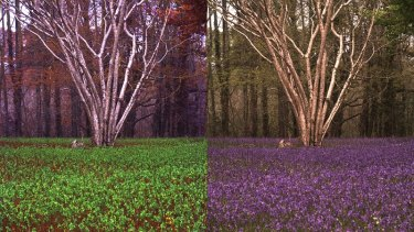 A field of bluebells from the perspective of a human (right) and a bee (left) generated by the Quantitative Colour Pattern Analysis (QCPA) framework.