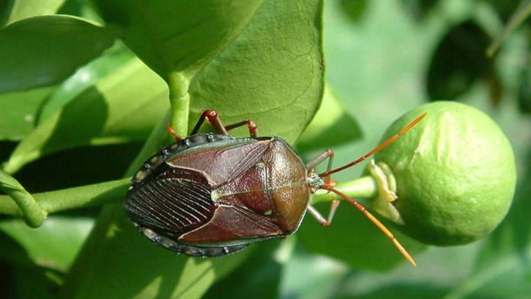 Bronze orange bugs known as stink bugs.