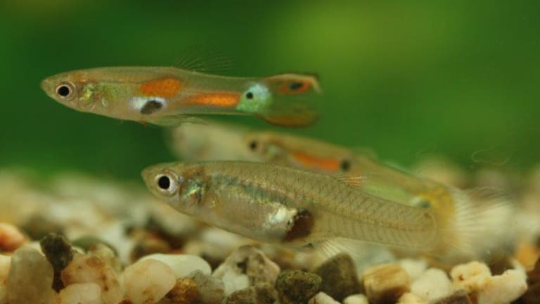 Guppies can change the colour of their irises to black to signal aggression.