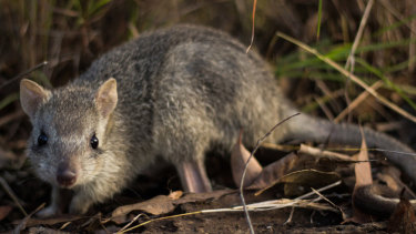 The critically endangered northern bettong.