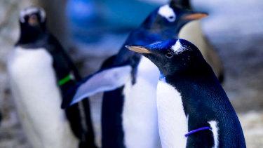 "A same-sex penguin couple will raise a ""genderless"" chick."