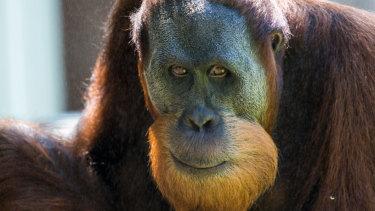 Orangutan escapes enclosure, sends Melbourne Zoo into lockdown