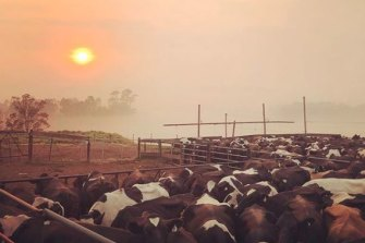 Dairy cattle on a smoky Bruthen farm.