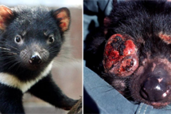 The tumours are aggressive and rapidly overwhelm the animals.