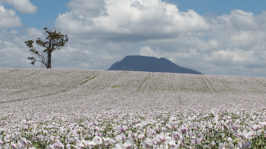 Tasmanian Alkaloids manufactures controlled substances providing medicinal opiates from poppy varieties grown on farms in Tasmania.