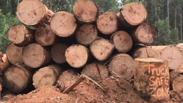 Mountain ash logs piled up at a site in the Yarra Ranges, north-east of Melbourne. Ring-counters would get close to 80 on most of them.