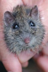 An endangered Hastings River mouse, from a photograph taken in January 2018.