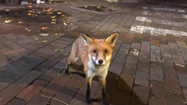 A fox out and about at UNSW campus last weekend.