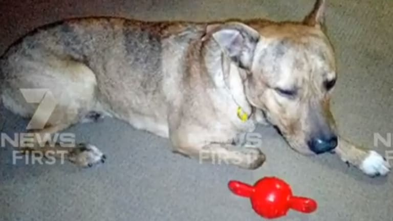 Desmond, a 15-month-old Golden Retriever-Staffy cross, was shot dead by police on the Gold Coast on Thursday.