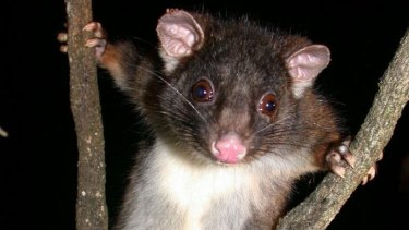 The western ringtail possum saw its status on the threatened species list worsen to 'critically endangered' this week, partly due to reduced rainfall and partly due to urban expansion.