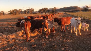 Cattle surviving off fodder at the Passmore family's property near Forbes in central-western NSW.