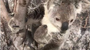A koala clings to a tree in a Queensland bushfire zone.