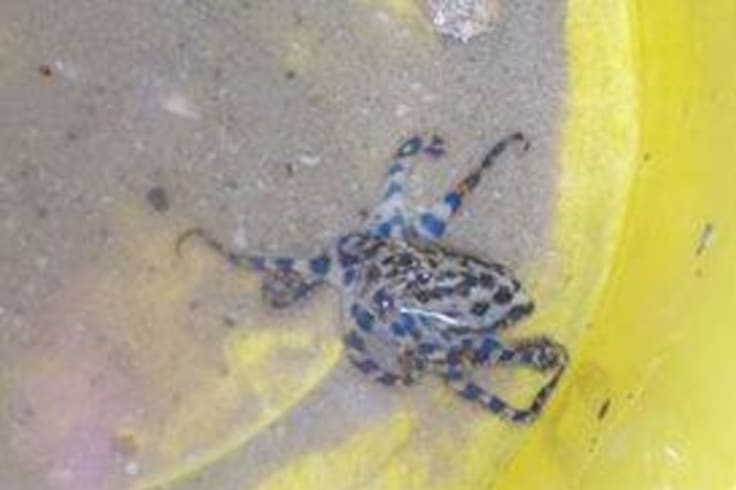 A fourth person is believed to have been bitten by a blue-ringed octopus off the WA coast this month.