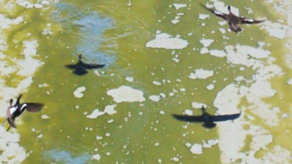 Water bird numbers reveal long-term decline of Menindee Lakes' health