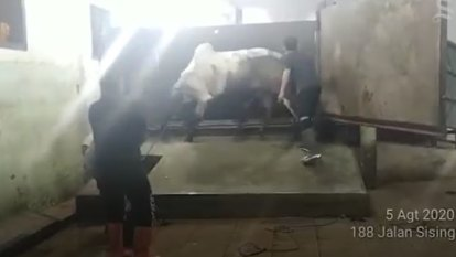 'Barbaric' footage shows Australian cattle slaughtered illegally in Indonesia