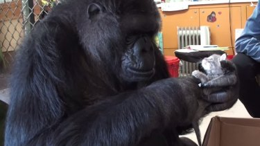 Koko the gorilla, with one of her pet kittens.