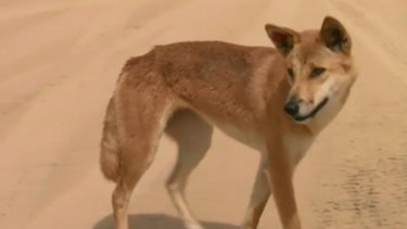 Urgent review after dingo drags baby from Fraser Island