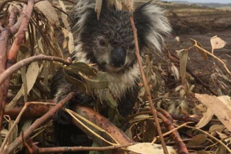 A koala injured in the logged blue-gum plantation at Cape Bridgewater. The animal was later put down after being found to have a broken arm.