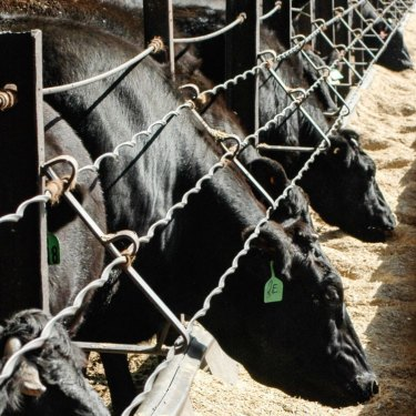 Angus cattle at a feedlot in Central Victoria.